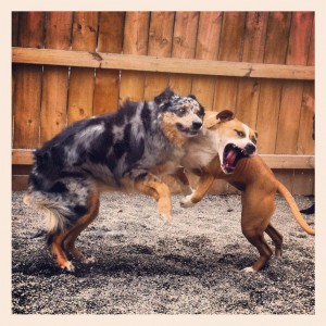 Dog Aggression training in buffalo ny, k9 connection