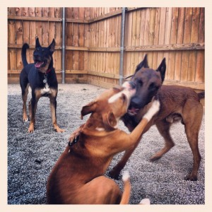 dog aggression, dog pack, dog behavior, buffalo dog training, dog training in buffalo